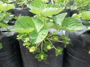strawberi mulai berbuah - budidaya strowbery