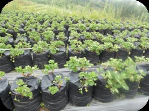 Tanaman stroberry yang disusun sengkedan, agar terlihat lebih indah dan rapih