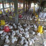 Antisipasi Fluktuasi Suhu Siang-Malam Yang Cukup Tinggi Dalam Budidaya Ternak Unggas