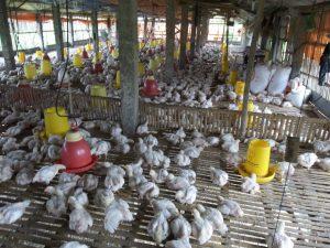 ayam Potong Broiler yang telah siap panen, sebelumnya dispesifikasikan sesuai dengan berat/ukuran masing2 ayam