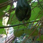 Mengenal Labu Siam/Jipang (Sechium edule)