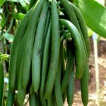 Budidaya Vanili (Vanilla Planifolia) dengan Teknologi MMC – Part I
