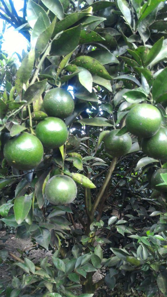 Budidaya jeruk keprok