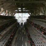 Meningkatkan kualitas telur pada budidaya ayam petelur