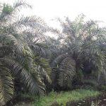 Panduan budidaya kelapa sawit