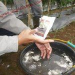 Superglio Mencegah Layu Fusarium pada Tanaman Cabe