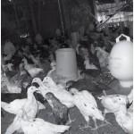 Budidaya Ayam Kampung Super Silangan Induk Super, Panen Sangat Cepat