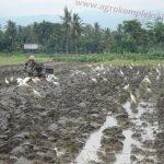 Pegendalian hama dan penyakit pada padi secara organik