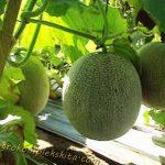 Pedoman Budidaya Melon