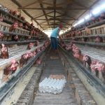 Teknis Budidaya Ayam Petelur