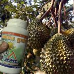 Budidaya Durian – Bag III – Pemupukan, pemangkasan,penyerbukan dan penjarangan buah Durian