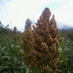 Potensi pengembangan cantel/sorghum pengganti beras