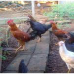 Usaha Budidaya Ayam Kampung- Sesuaikan dengan Modal