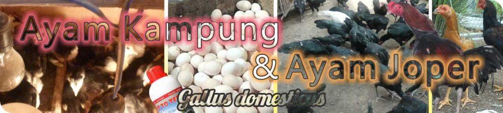 Budidaya Ayam Kampung & Jawa Super | Agrokompleks Kita