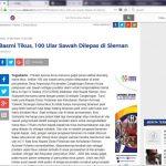Basmi Tikus, 100 Ular Sawah Dilepas di Sleman