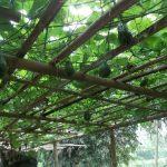 Syarat Budidaya & Cara Pembibitan Tanaman Labu Siam
