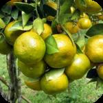 Budidaya  Jeruk Keprok (citrus reticulata) dan Jeruk Siam