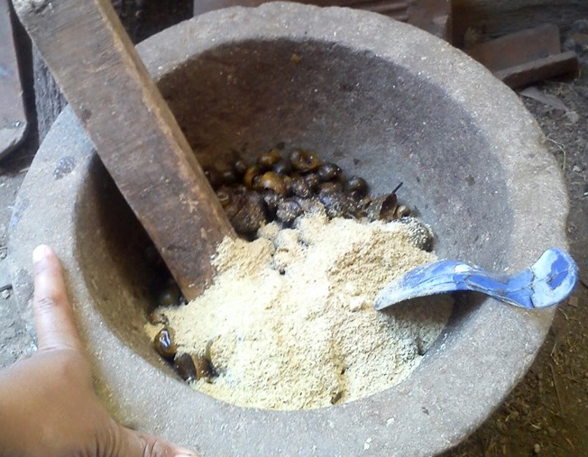 Cara Mengolah Keong Sawah Untuk Pakan Bebek Agrokompleks Kita